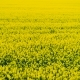 AGRICULTURE - Canola Flower, Yellow Oilseed Rape Field