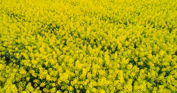 VideoHive Agriculture Canola Flower Oilseed Rape Field 20067682