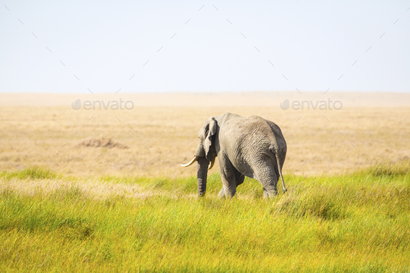 One lonely elephant walking in Serengeti Africa - Stock Photo - Images