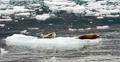 Wild Seal Lions Iceburg Aialik Bay Kenai Fjords Alaska