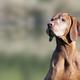 Beautiful old dog - PhotoDune Item for Sale