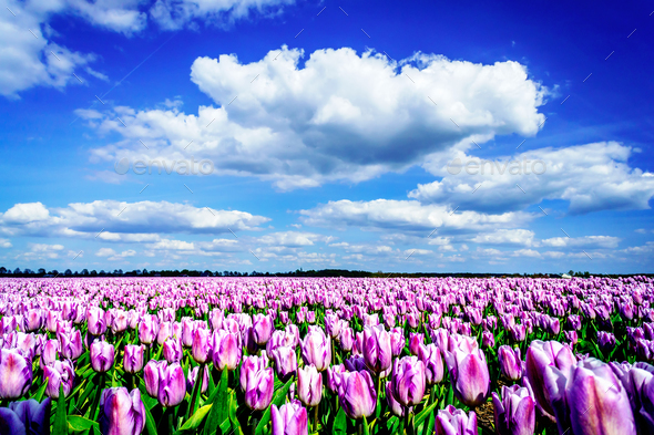 Magnificent field of tulips in Holland. - Stock Photo - Images