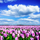 Magnificent field of tulips in Holland. - PhotoDune Item for Sale