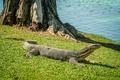 Big Lizard close up