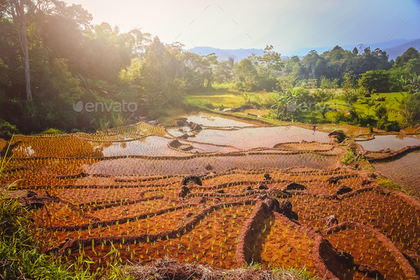 Indonesian ricefield terraces - Stock Photo - Images