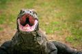 Large Komodo Dragon