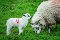 Mother and baby sheep grazing in the irish countryside