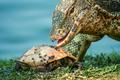 Big lizard hunting