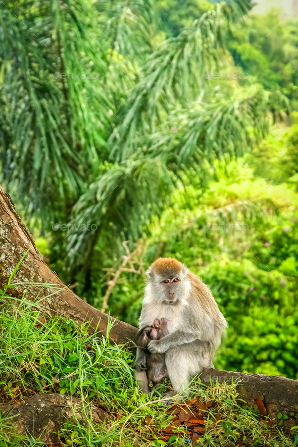 Indonesian Macaque monkey - Stock Photo - Images