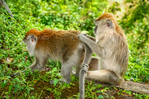 Two Macaques monkeys - Stock Photo - Images