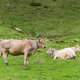 Cow pasture in rural Andorra - PhotoDune Item for Sale