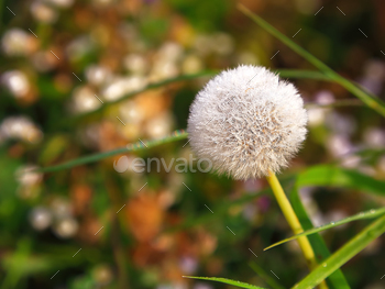 Dandelion on the meadow