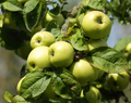 Apple tree branch with green apple fruits - PhotoDune Item for Sale