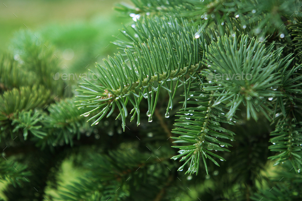 pine branch with raindrops - Stock Photo - Images