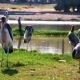 Goliath Herons in the Zoo