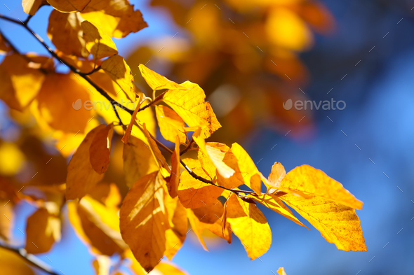 Autumn yellow leaves of poplar - Stock Photo - Images
