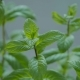 Useful Plant Mint. Leaves of a Plant - VideoHive Item for Sale