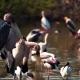 Goliath Herons, Safari