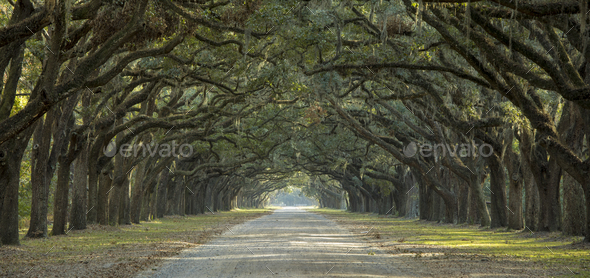 Avenue of oaks in American South - Stock Photo - Images