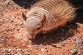Small hairy armadillo
