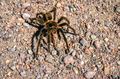 Hairy Patagonian Spider