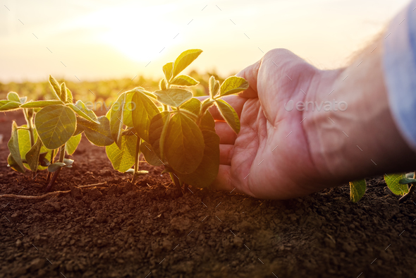 Agronomist checking small soybean plants in cultivated agricultu - Stock Photo - Images