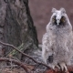 Owl Sits on a Branch of a Pine Tree She Looks Into the Distance Looking for Food