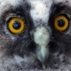 Huge Mirror Yellow Eyes of the Owl Are Looking Into the Distance, She Is Dying.