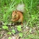 Red Squirrel Deftly Gnaws Nuts in the Park - VideoHive Item for Sale