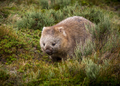 bare nosed wombat - PhotoDune Item for Sale
