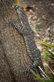 Lace monitor - PhotoDune Item for Sale