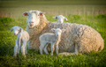 sheep and 3 lambs - PhotoDune Item for Sale