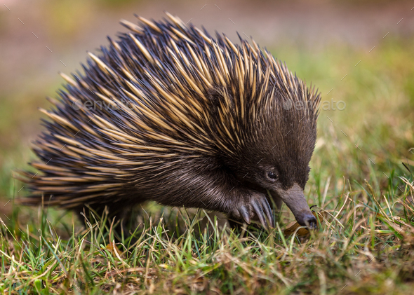 A short-beaked echidna (Tachyglossus aculeatus) walking on the g - Stock Photo - Images