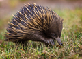 A short-beaked echidna (Tachyglossus aculeatus) walking on the g - PhotoDune Item for Sale