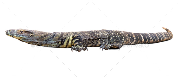 Lace monitor - Stock Photo - Images