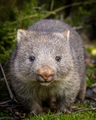 baby bare nosed wombat - PhotoDune Item for Sale