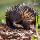short-beaked echidna - PhotoDune Item for Sale