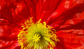 Beautiful nature background with closeup of bright red poppy - PhotoDune Item for Sale