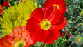 Beautiful red poppies - PhotoDune Item for Sale