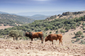 Bulls in countryside, Andalusia, Spain