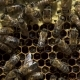 Many Bees Working on Honeycombs with Honey - VideoHive Item for Sale