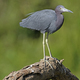 Little Blue Heron on a tree - PhotoDune Item for Sale
