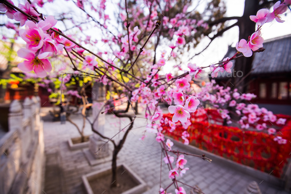 Magnolia in blossom at chinese buddihst temple - Stock Photo - Images