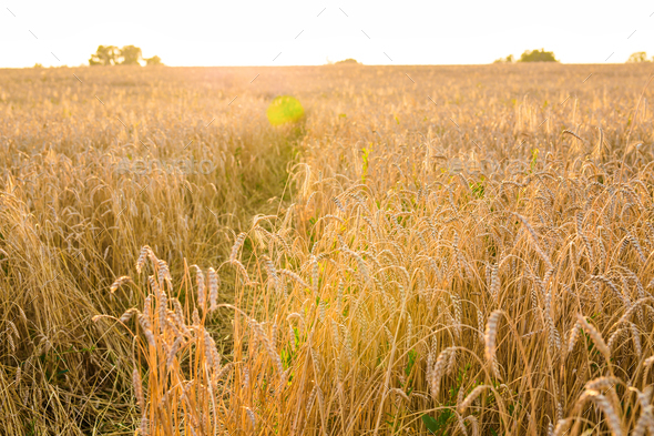 Oat Field in sunlight - Stock Photo - Images