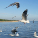 Seagull Over Ocean - VideoHive Item for Sale