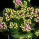 Opening of Kalanchoe Flower - VideoHive Item for Sale