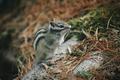 Eastern Chipmunk , sitting on a fallen tree