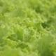 Leaf of a Green Salad