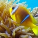 Clown Fish in Anemone Close, Red Sea. Egypt - VideoHive Item for Sale