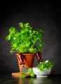 Fresh Parsley Growing in Pot with Mezzaluna in Stil Life